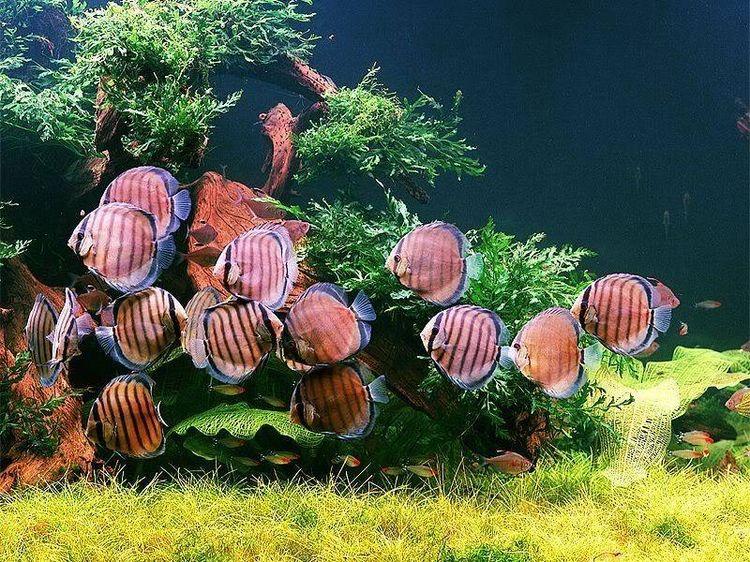 peces disco4